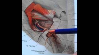 38. Inguinal canal