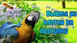 Попугай Ара Рома первый раз гуляет на улице!