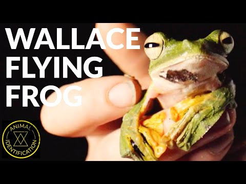 Can This Frog Really Fly?! Ft. Wallace Flying Frog