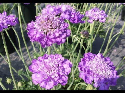 Best Perennials for Sun Scabiosa 39Mariposa Violet