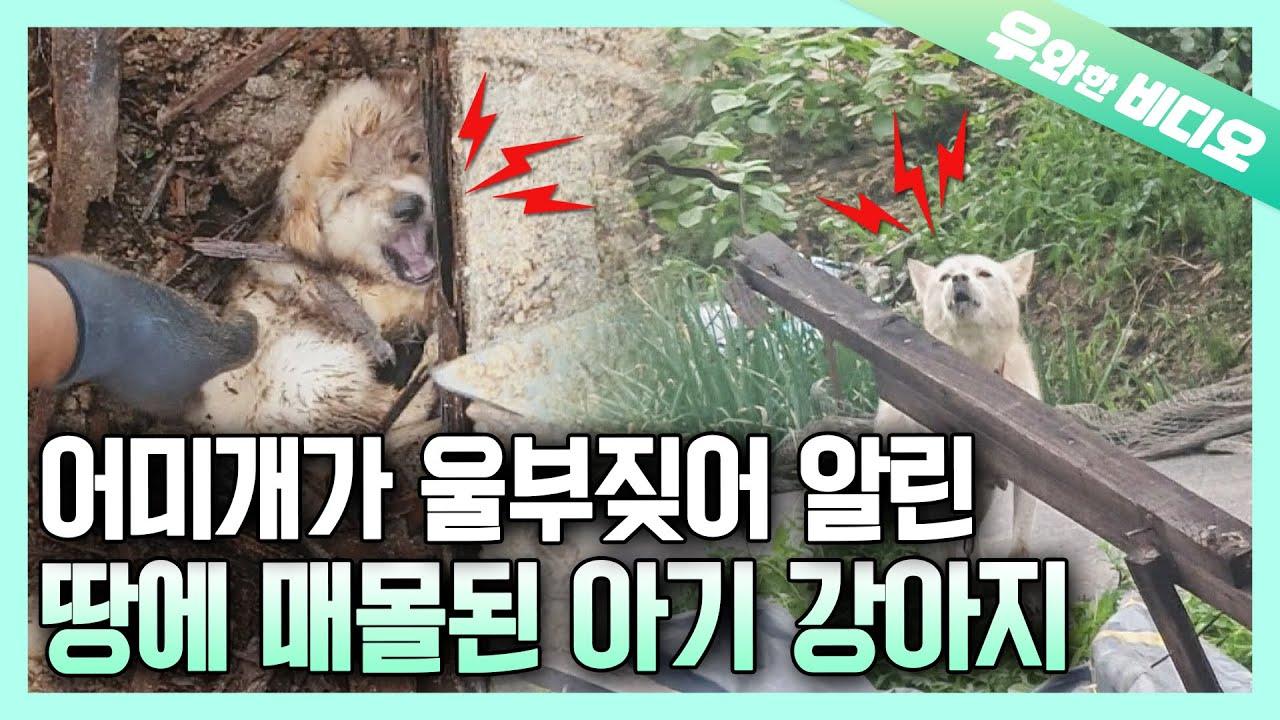 땅 속에 매몰된 채 1주일 간 생존한 기적의 백구 4형제┃Four Puppies that Survived Under the Ground 'Buried' for ONE WEEK