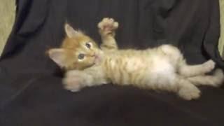 Котенок мейн-кун 1 месяц . Ласковый котенок, мимишный будущий великан