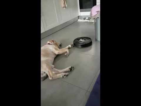 IRobot vs lazy dog