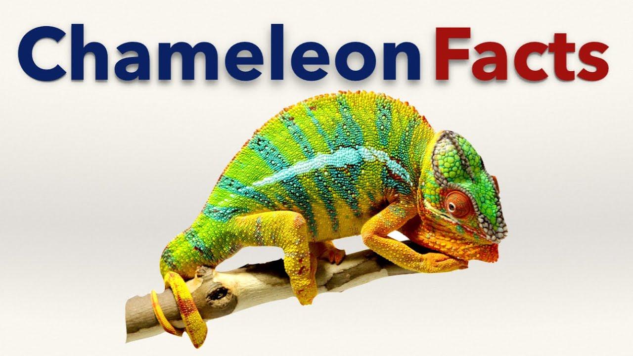 Chameleon Facts Youtube