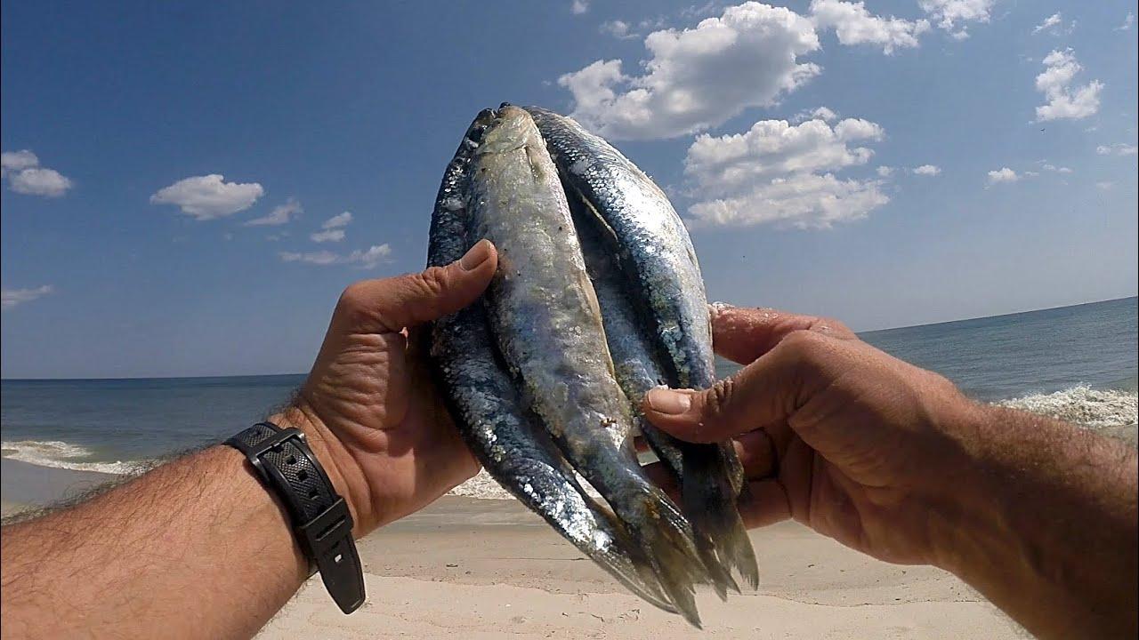 Ocean Surf fishing - OLD FROZEN HERRING CHUNK BAIT - Looking For Big Ocean Fish