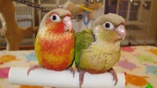 Jax And Truffles -- Baby Green Cheek Conures