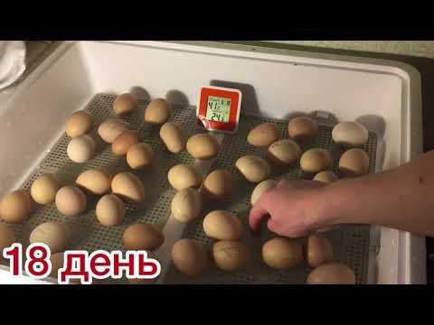 Разведение цыплят в домашних условиях в инкубаторе