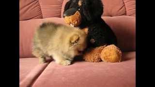 Pomeranian Boy, 2.5 Month Age, Pedigree Fci.