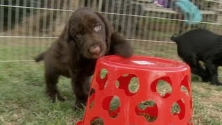 Basket of Love & Spaniel Puppies
