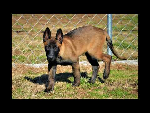 The changing colors of Thunder A Belgian Malinois