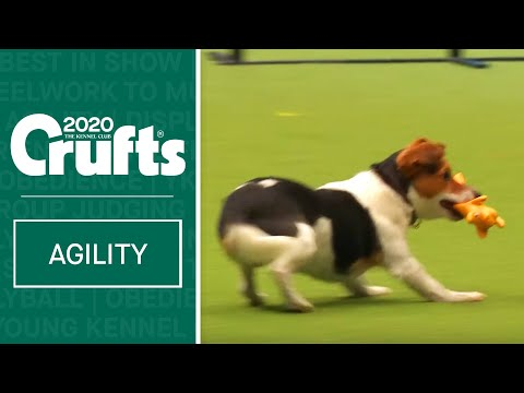 Fergus the Jack Russell having a great time at Crufts 2020!