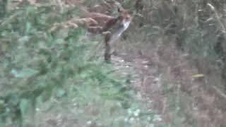 fox buttollo