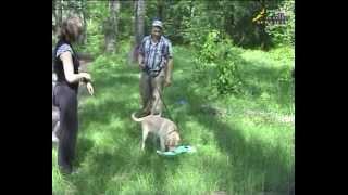 A Labrador puppy training