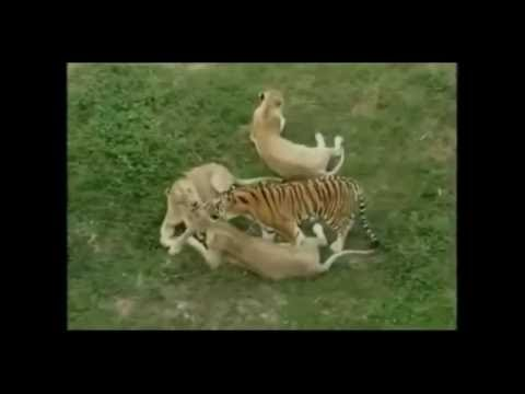 Tiger mating Hard with Lioness in Zoo  Wild Animals Mating Videos