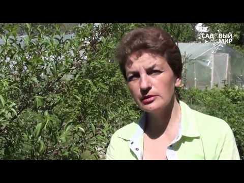 Болезни вишни и сливы.Признаки монилиоза. Сайт Садовый мир