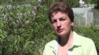 видео Агратехника - косточковые.