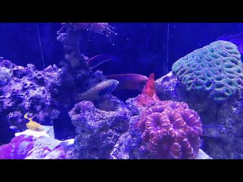 My Red Coris Wrasse Ate My New Black Leopard Wrasse