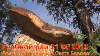 Грибной рай 21 08 2018 Сбор грибов Белые грибы Рыжики Опята Белянки Лисички Тихая охота Лес Сибирь