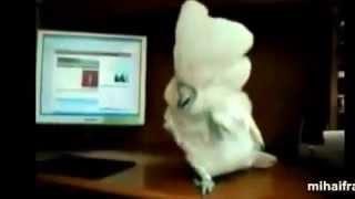 Танцующие попугаи(Я то думал они только повторяют. Но они ещё и понимают! Смотрите сами!, 2014-12-10T15:13:28.000Z)