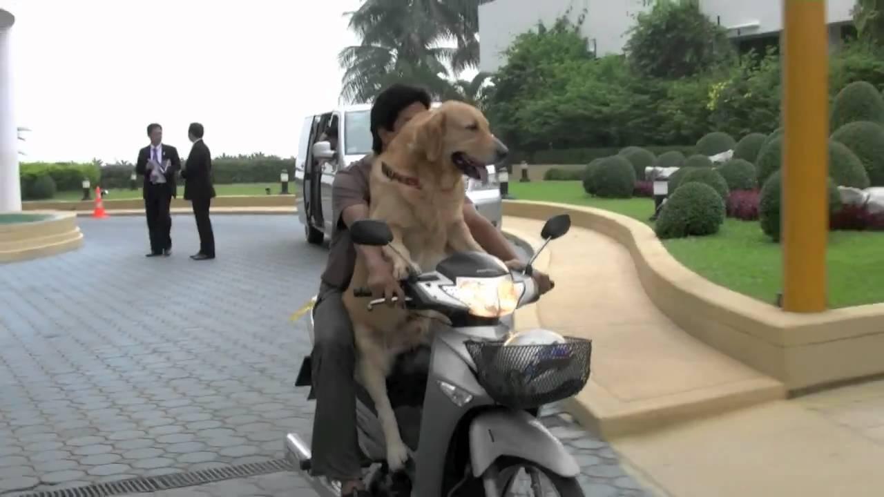 Golden Retriever Rides Motorcycle