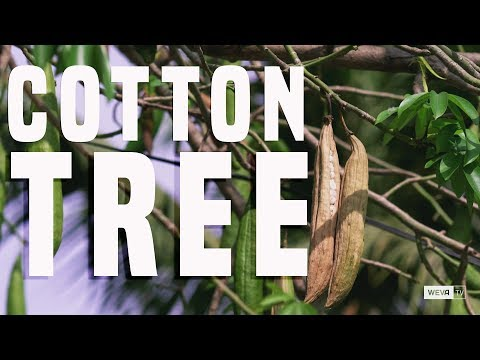 Silk Cotton Tree Facts and Features.