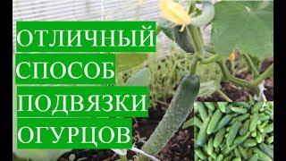 Выращивание Огурцов в Теплице. Отличный Способ Подвязки Огурцов.