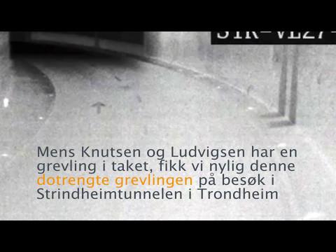 Statens vegvesen - Dotrengt grevling i Strindheimtunnelen