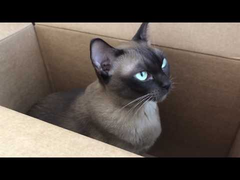 Burmese Matilda loves her new box and purrs purrs purrs