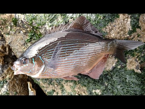 Treasure Island (CA) Perch & Rock Cod Fishing