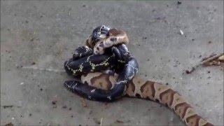 King Snake vs Copperhead