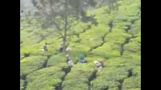 Workers cutting tea leaves in Munnar Tea plantations, Kerala