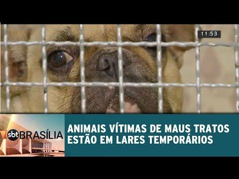 Animais vítimas de maus tratados estão  em lares temporários | SBT Brasília 08/08/2018