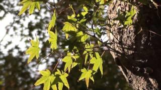 [2分動画 京都] 松尾のもみじ-2 (2011年11月13日)