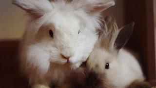 видео Вязка кроликов: вязка декоративных и карликовых кроликов