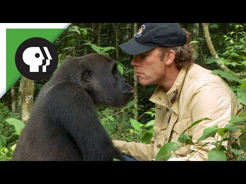 Millionaire Conservationist Reunites with Gorilla Released to the Wild