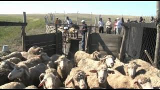 Развитие племенного животноводства в ЗКО