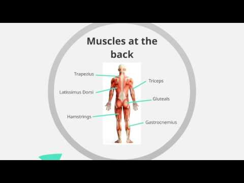 Chapter 1.2: Location of Major Muscle Groups