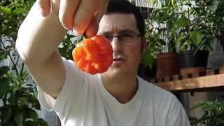 Trinidad Scorpion Morouga - New World's Hottest Chilli.