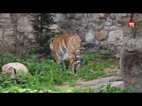 В столичном зоопарке устроили праздник в честь полосатых хищников