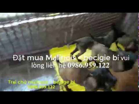 Mua Bán Chó Malinois (Béc Giê Bỉ) – Giá Chó Malinois giống bao nhiêu