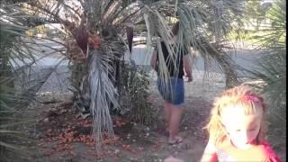Пиндо(желе) пальма  Pindo(jelly) palm.