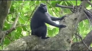 Repeat youtube video 2016 Sulawesi (Celebes) crested macaque (Macaca nigra) 新 नई baru ใหม่