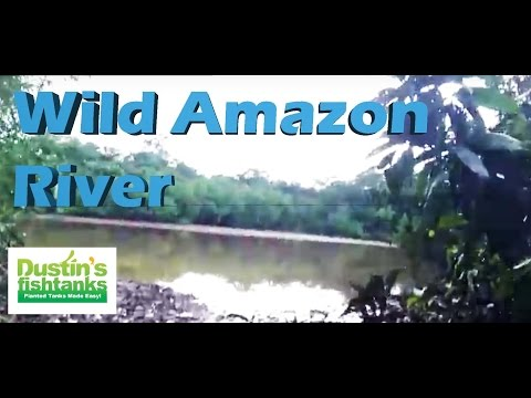 Wild Amazon River Fish Collecting Spot. Sweet Amazon River in Peru tropical fish collecting