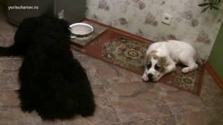 #1 Пищевая агрессия и коррекция поведения щенка во время еды(, 2017-01-02T17:30:02.000Z)