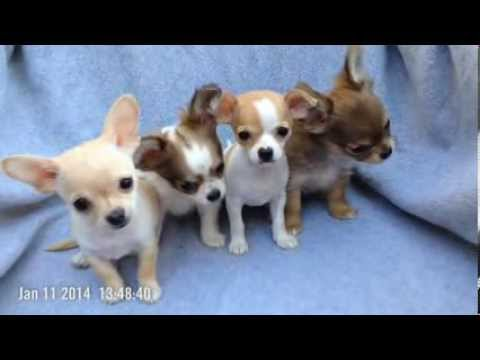 chihuahua puppiesfor sale chihuahua puppies for sale in austin tx youtube 2818