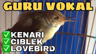 Anakan Ciang Ciang   Prenjak Lumut Gacor untuk Masteran Lovebird Kenari Ciblek