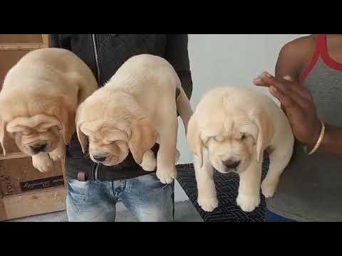 Show quality Labrador puppy available location sarsawa Saharanpur u.p contact no 9068099902