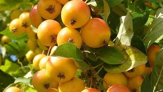 Gambar cover Weird fruit|Tiny apple (Gala Apples) in Russia
