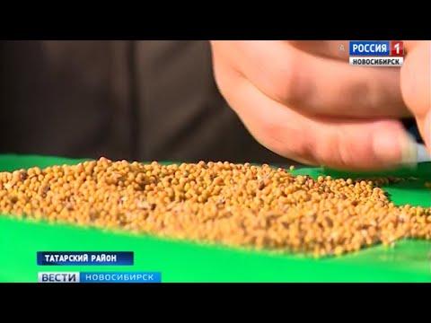 Горчица вместо пшеницы: аграрии из Татарского района пошли на эксперимент