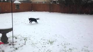 Ramona the Border Collie playing in the snow in DFW, 2015.